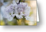 Trees Blossom Greeting Cards - Cherry blossoms Greeting Card by Frank Tschakert