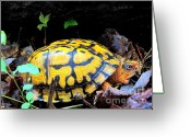Oldgrowth Greeting Cards - Chesapeake Box Turtle Greeting Card by Joshua Bales