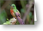 Wild Bird Greeting Cards - Chestnut-breasted Coronet Greeting Card by Photography by Jean-Luc Baron