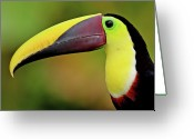 Side View  Greeting Cards - Chestnut Mandibled Toucan Greeting Card by Photography by Jean-Luc Baron