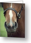 Neigh Greeting Cards - Chestnut pony foal muzzle with whiskers Greeting Card by Ethiriel  Photography