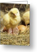 Gallus Gallus Greeting Cards - Chick Greeting Card by David Aubrey