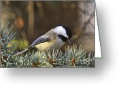 Snow Prints Greeting Cards - Chickadee-10 Greeting Card by Robert Pearson