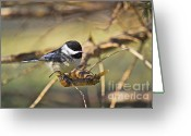 Wildlife Greeting Cards Prints Greeting Cards - Chickadee-11 Greeting Card by Robert Pearson