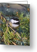 Snow Posters Greeting Cards - Chickadee-12 Greeting Card by Robert Pearson