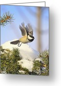 Snow Posters Greeting Cards - Chickadee-13 Greeting Card by Robert Pearson