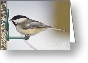 Snow Posters Greeting Cards - Chickadee-4 Greeting Card by Robert Pearson