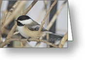 Snow Prints Greeting Cards - Chickadee-5 Greeting Card by Robert Pearson
