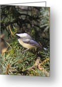 Snow Posters Greeting Cards - Chickadee-9 Greeting Card by Robert Pearson