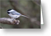 Roger Lewis Greeting Cards - Chickadee  Greeting Card by Roger Lewis