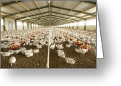 Gallus Gallus Greeting Cards - Chicken Farm Greeting Card by Angel Fitor