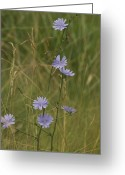 Burgeon Greeting Cards - Chicory 2765 Greeting Card by Michael Peychich