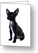 Chihuahua Greeting Cards - Chihuahua Puppy Greeting Card by Hapa