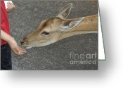 Kid Photo Greeting Cards - Child feeding deer Greeting Card by Matthias Hauser