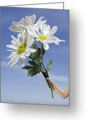 Holding Flower Greeting Cards - Child Holding A Bunch Of Giant Daisies Greeting Card by Phil Ashley