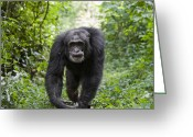 Uganda Greeting Cards - Chimpanzee Alpha Male Western Uganda Greeting Card by Suzi Eszterhas