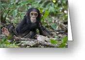 Uganda Greeting Cards - Chimpanzee Infant Western Uganda Greeting Card by Suzi Eszterhas