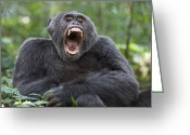 Uganda Greeting Cards - Chimpanzee Male Yawning Western Uganda Greeting Card by Suzi Eszterhas