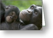Ape. Great Ape Greeting Cards - Chimpanzee Mother And Infant Greeting Card by Cyril Ruoso