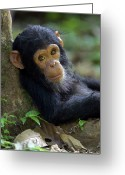Chimpanzee Greeting Cards - Chimpanzee Pan Troglodytes Baby Leaning Greeting Card by Ingo Arndt