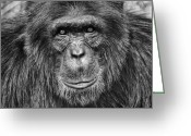 Featured Greeting Cards - Chimpanzee Portrait 1 Greeting Card by Richard Matthews