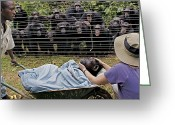 Peoples Greeting Cards - Chimpanzees Look On In Grief Greeting Card by Monica Szczupider/National Geographic My Shot
