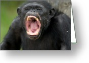Howl Greeting Cards - Chimpanzees Pan Troglodytes Greeting Card by Joel Sartore