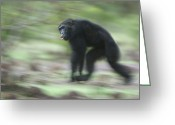 Senegal Greeting Cards - Chimps Knuckle Walk, Their Primary Mode Greeting Card by Frans Lanting