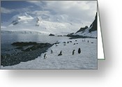 Rock Groups Greeting Cards - Chin Strap Penguins Congregate Greeting Card by Tom Murphy