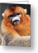Shaanxi Greeting Cards - China, Shaanxi Province, Golden Monkey (rhinopithecus Roxellana ) Greeting Card by Jeremy Woodhouse