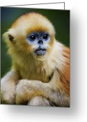Shaanxi Greeting Cards - China, Shaanxi Province, Young Golden Monkey (rhinopithecus Roxellana) Greeting Card by Jeremy Woodhouse