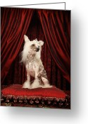 Tiara Greeting Cards - Chinese Crested Dog Wearing Tiara Sitting On Red Cushion Greeting Card by Karen Moskowitz