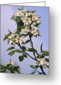 Flower Blossom Greeting Cards - Chinese Pear Blossom (pyrus Ussuriensis) Greeting Card by Dr. Nick Kurzenko