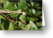 Germantown Photo Greeting Cards - Chinese Praying Mantis Has Turned Greeting Card by Brian Gordon Green