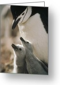 Twins Greeting Cards - Chinstrap Penguin Pygoscelis Antarctica Greeting Card by Tui De Roy