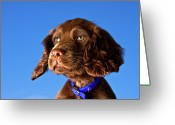 Green Eyes Greeting Cards - Chocolate Brown Cocker Spaniel Puppy Greeting Card by Andrew Davies
