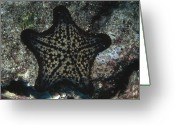 Marine Animal Greeting Cards - Chocolate Chip Sea Star On Reef Greeting Card by James Forte