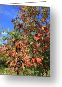 Autumn Scenes Greeting Cards - Chokecherry Tree Greeting Card by Jim Sauchyn