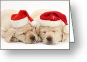 Winter Sleep Greeting Cards - Christmas Puppies Greeting Card by Mark Taylor