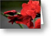 Debbie Johnson Greeting Cards - Chromatic Gladiola Greeting Card by Deborah  Crew-Johnson
