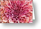 Chrysanthemum Greeting Cards - Chrysanthemum Greeting Card by Jody Trappe Photography