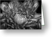 Chrysanthemum Greeting Cards - Chrysanthemum Greeting Card by Scott Norris