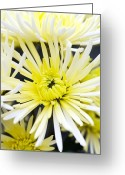 Sheena Greeting Cards - Chrysanthemum sheena Greeting Card by Jon Stokes