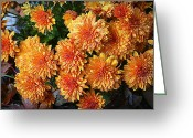 Plants Greeting Cards Greeting Cards - Chrysanthemums Greeting Card by Kay Novy