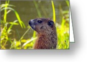 Groundhog Greeting Cards - Chucky Woodchuck Greeting Card by Paul Ward