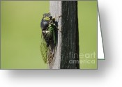 Cicada Greeting Cards - Cicada Green Greeting Card by Randy Bodkins