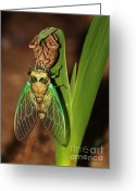 Cicada Greeting Cards - Cicada Greeting Card by Jeff Breiman