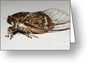 Cicadas Greeting Cards - Cicada Greeting Card by Mareko Marciniak