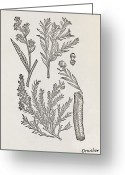 Cuisine Artwork Greeting Cards - Cinnamon Plant, 16th Century Greeting Card by Middle Temple Library