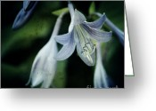 Flower Photography Greeting Cards - Cladis 02s Greeting Card by Variance Collections